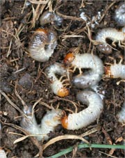 OBX Harmful Insect Grubs